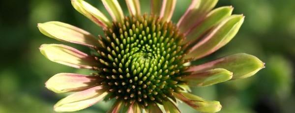 Echinacea-purpurea-Green-Envy